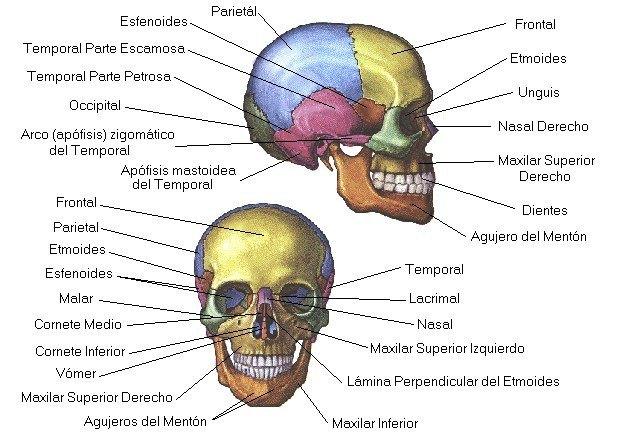 HuesosCraneo